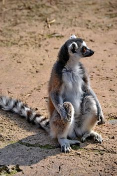 Lemur close up - image gratuit(e) #328493
