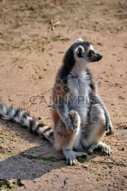 Lemur close up - image gratuit #328493