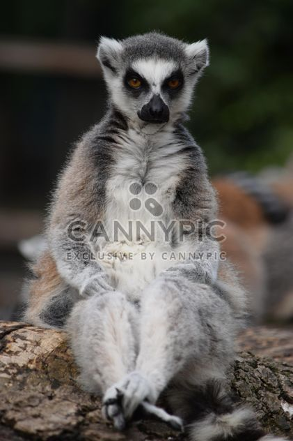 Lemur close up - image #328583 gratis