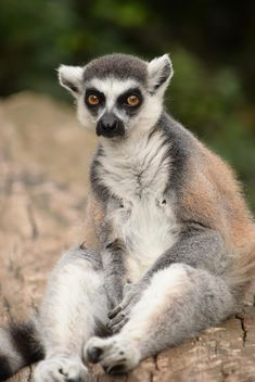 Lemur close up - image gratuit #328593