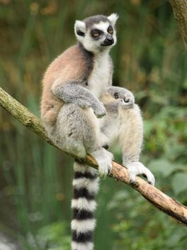 Lemur close up - image gratuit #328603