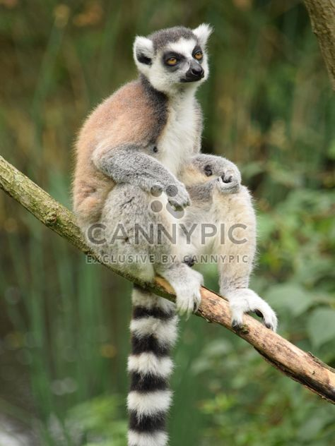 Lemur close up - Free image #328603