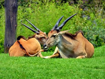 couple of antelope lying down on the gras - Kostenloses image #328653