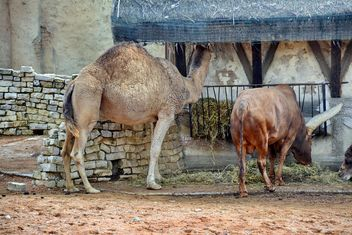 dromedary on farm - Free image #329053