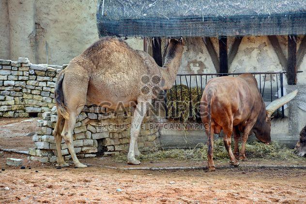 Dromedar auf Bauernhof - Free image #329053