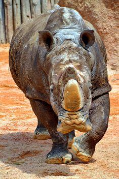 Rhinoceros in park - Free image #329063