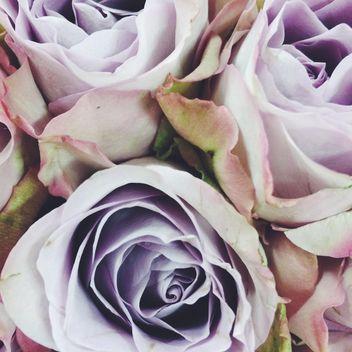 rose background - Kostenloses image #329233