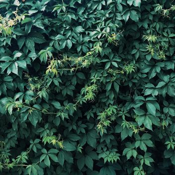 Green ivy background - Kostenloses image #329283
