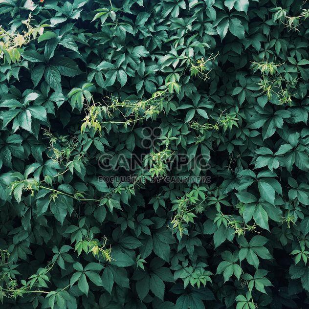 Fondo de hiedra verde - image #329283 gratis