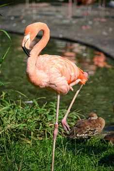 Flamingo in park - Free image #329923