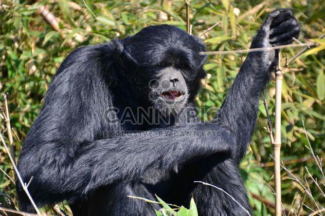 Siamang gibbon female - Free image #330223