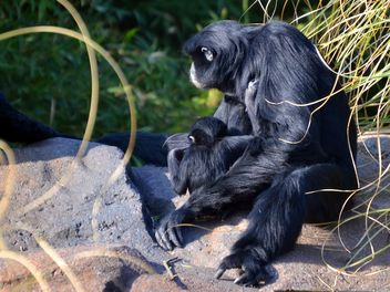 Siamang gibbon female with a cub - image gratuit #330253