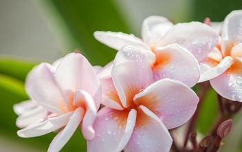 Close up of pink Plumeria - image #330863 gratis
