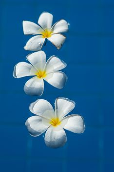 Close up of Plumeria on water - image gratuit #330873