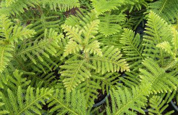 Fern foliage - Kostenloses image #330963
