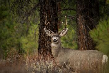 Mule deer - Free image #332543