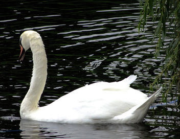 White swan in water - image #332763 gratis