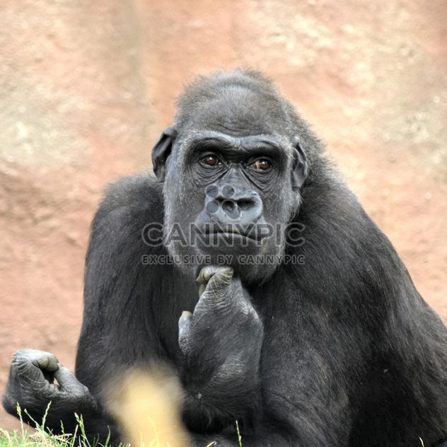 Gorilla rests in park - Free image #333163