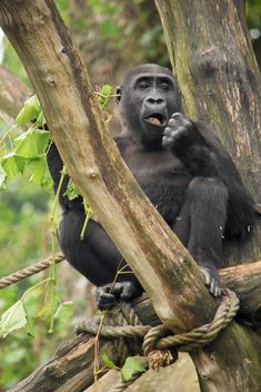 Gorilla on rope clibbing in park - image gratuit #333183