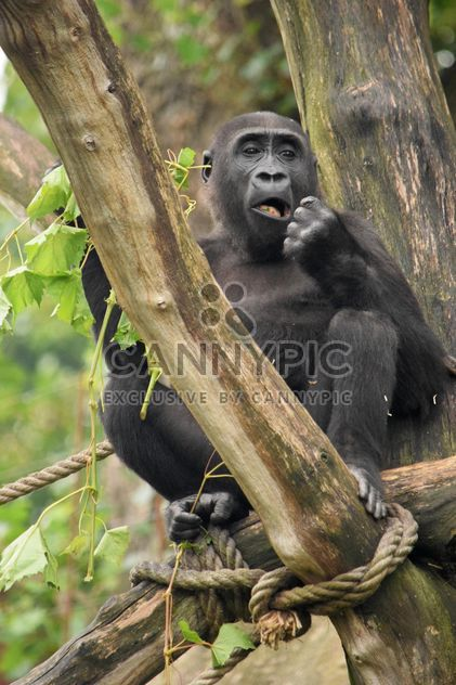 Gorilla on rope clibbing in park - image #333183 gratis