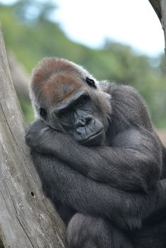 Gorilla rests in park - бесплатный image #333193