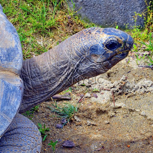 Portrait de la tortue géante - image gratuit #334723