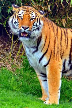 tiger in park - image gratuit #334793