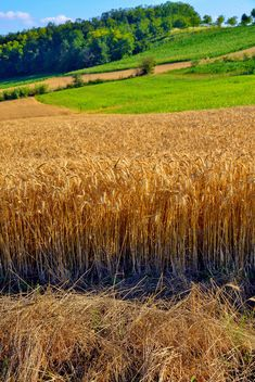 Golden wheat field - image gratuit #334803