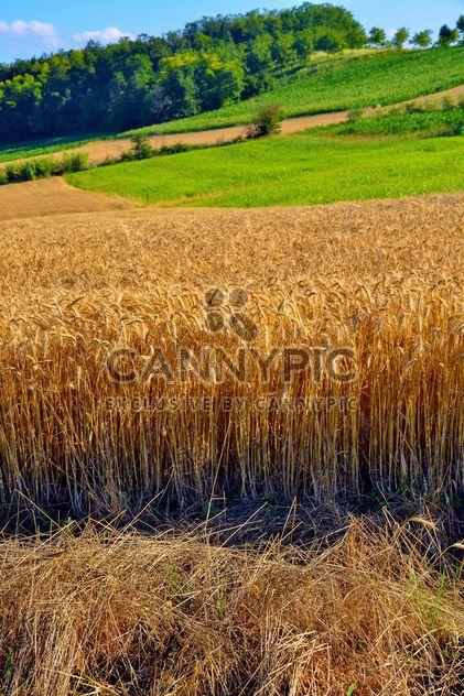 Champ de blé doré - image gratuit(e) #334803