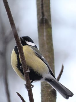 Titmouse sits having ruffled up on a branch of a tree - image gratuit #335033