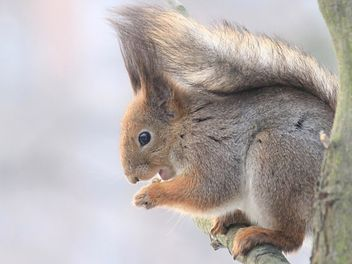 Squirrel eating nut - image gratuit(e) #335043