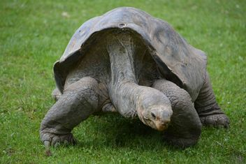 One Tortoise on green grass - image #335083 gratis