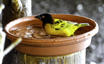 Village Weaver Bathing - Free image #336893