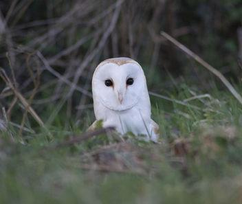 Barn Owl - Free image #337433
