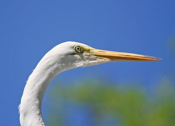 Closeup portrait of egret - image gratuit(e) #337463