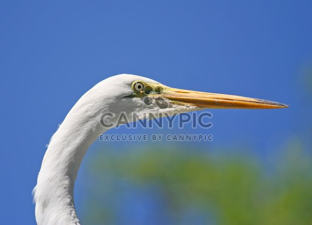 Closeup portrait of egret - бесплатный image #337463