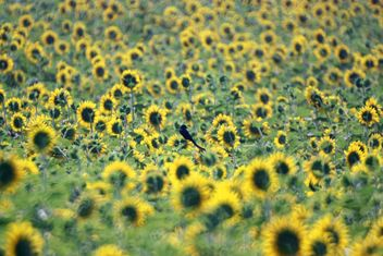 Bird in sunflower field - бесплатный image #337483