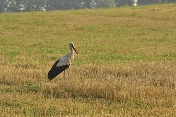 Stork in summer field - бесплатный image #337493