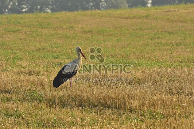 Stork in summer field - Free image #337493