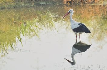 Stork standing in lake - Free image #337583