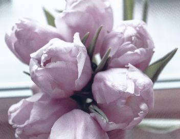 Closeup of purple tulips - Free image #337943
