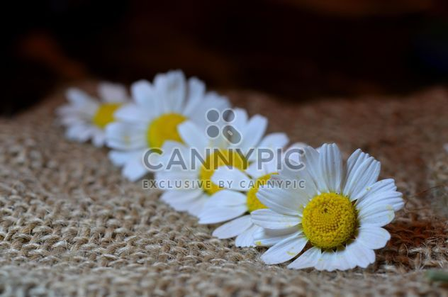 Chamomiles sobre fondo de arpillera - image #338293 gratis