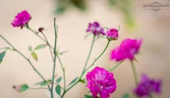 Pretty Pink - image gratuit #341853