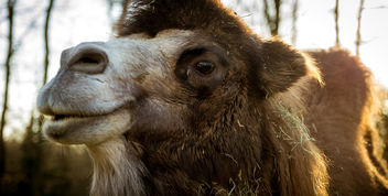 the dromedary - image #343283 gratis