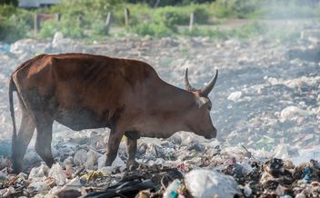 cows on landfill - image #343843 gratis