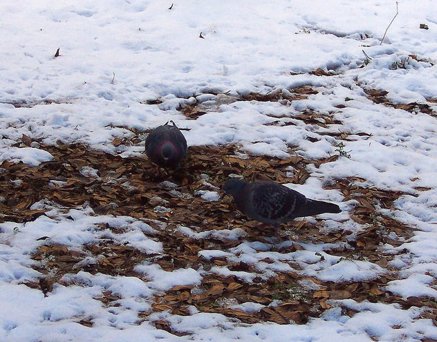 Pigeons looking for something to eat !! - бесплатный image #344413