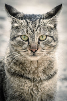 Cat - image #344963 gratis