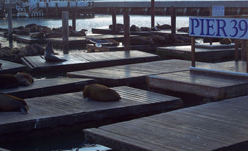 USA (San Francisco, CA) Sea lions living at Pier 39 - image gratuit #345223