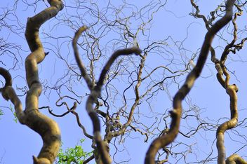 Trees trunks against clear blue sky - Free image #345903
