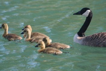 Canadian geese with babies swimming in pond - Free image #346973